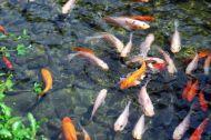 teichfische-und-koi